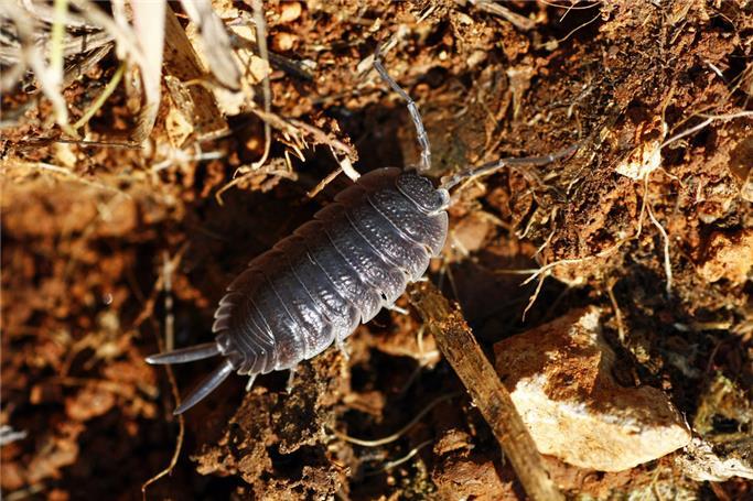 tespih böceği ilaçlama, tespih böceği nasıl ilaçlanır